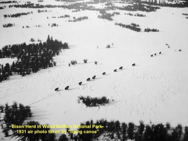 1931 bisons in Wood Buffalo National Park